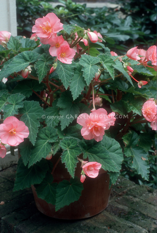 Tuberous begonia, pink blooms, in container pot on patio