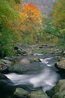 Red maple in Nantahala River Gorge<br /> Nantahala National Forest<br /> Appalachian Mountains<br /> North Carolina