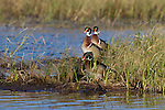Drake Wood Ducks