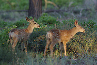 A couple Mule Deer Fawns seen in southern Utah's, Bryce Canyon National Park, on a summer day.