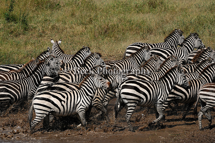 Running zebras in Africa