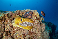 fangtooth moray, tiger moray, or bird-eye conger, Enchelycore anatina, and black moray eel, Muraena augusti, South Tenerife, Canary Island, Spain, Atlantic Ocean