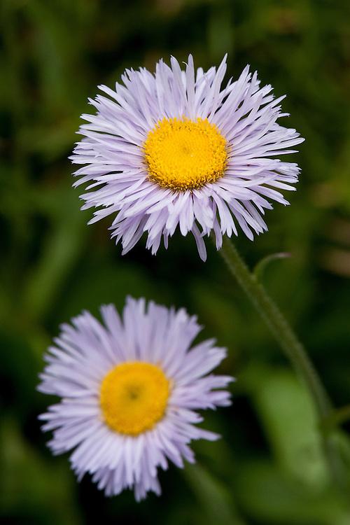 Aspen fleabane, (Erigeron speciosus var. macranthus), early July. A wildflower native to western North America. Also known as dainty daisy, daisy fleabane, and Oregon fleabane.