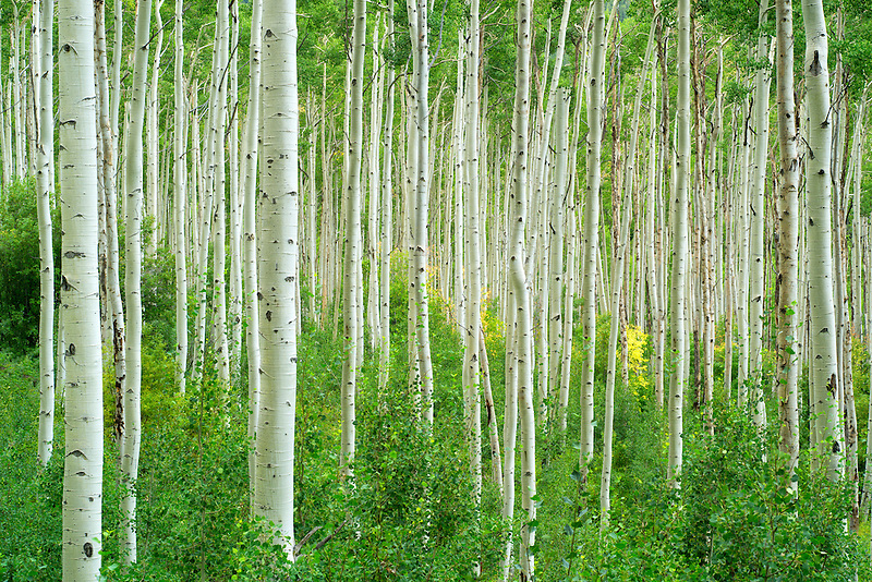 Tall straight aspen tree with one small tree in fall color. Near Aspen, Colorado