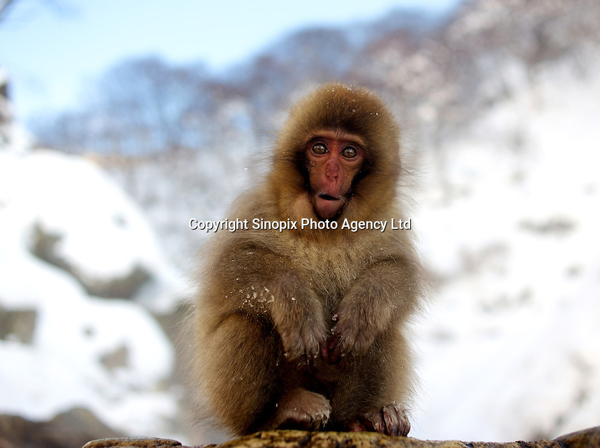 A baby Japanese macaque, a.k.a. Snow Monkey, at Jigokudani (Hell Valley) in Nagano Prefecture, Japan. Japanese snow monkeys live in extreme conditions where winter temperatures can drop to -20 c, and they are unique in taking hot bath, known as an Onsen..28 Jan 2011