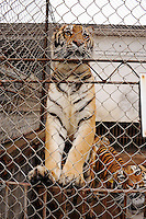 Tigers in their cages at the Xiongshen Tiger and Bear Park in Guilin China. The park has farmed 1500 tigers and sells an illegal tiger bone wine to tourists that visit the park.
