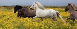 Icelandic Ponies, Iceland