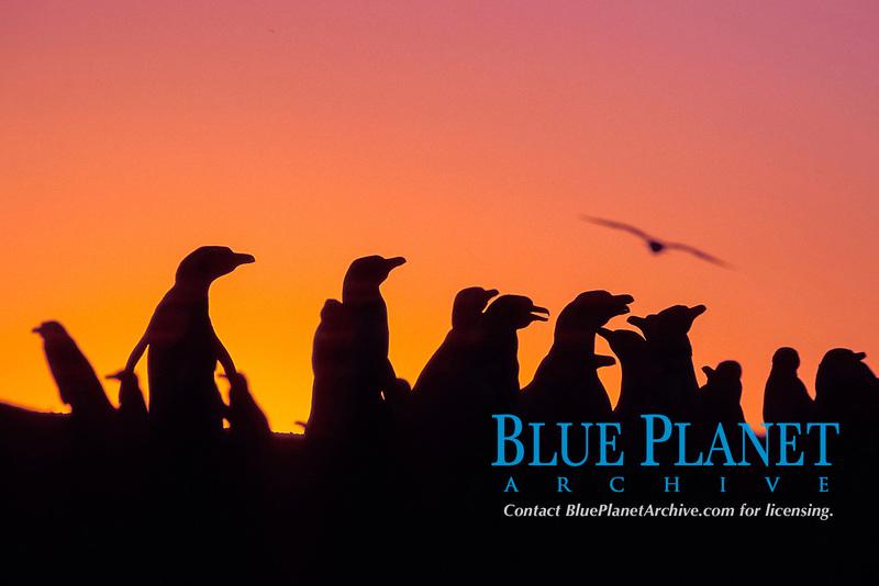 Magellanic penguins, Spheniscus magellanicus, at sunset, Punta Tombo, Patagonia, Peninsula Valdez, Argentina, Atlantic Ocean