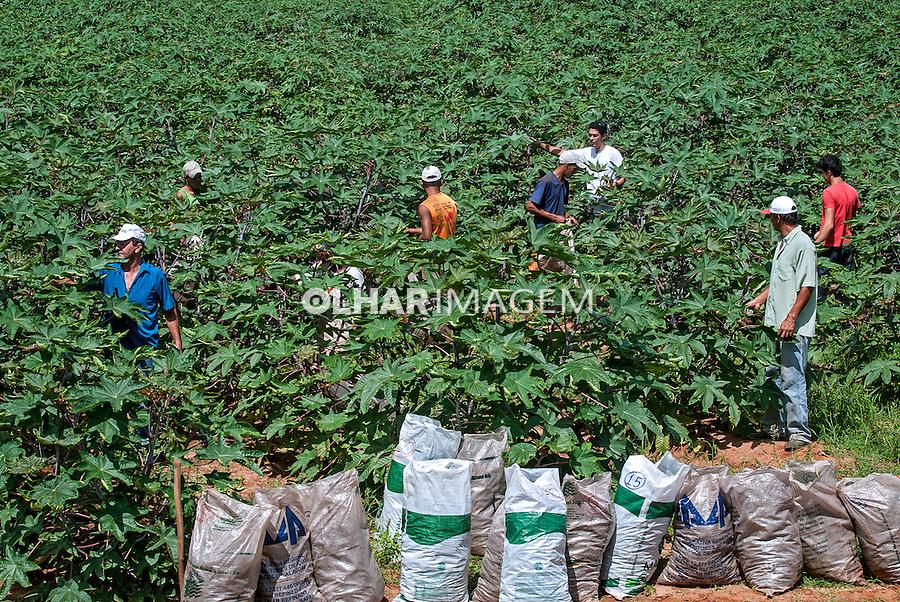 Colheita de Mamona para produçao de biodiesel. Bom Jesus da Lapa. Bahia. 2010. Foto de Ubirajara Machado