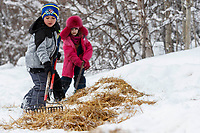 Youngsters from the village of Takotna help to rake the leftover straw in the afternoon at the Takotna checkpoint on Thursday March 7th during the 2019 Iditarod Trail Sled Dog Race.<br /> <br /> Photo by Jeff Schultz/  (C) 2019  ALL RIGHTS RESERVED