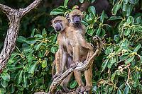 Monkeys and Baboons