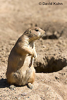 0601-1010  Black-tailed Prairie Dog On Watch by Burrow Hole Entrance, Cynomys ludovicianus  © David Kuhn/Dwight Kuhn Photography