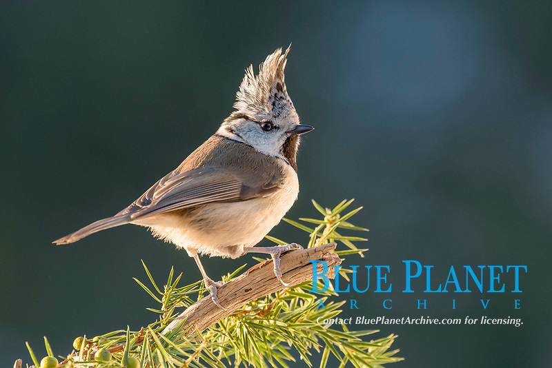 European crested tit, Lophophanes cristatus (formerly Parus cristatus), perched on a pine tree branch (Pinus sp.), Tyrol, Austria, Europe