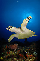 Hawksbill Sea Turtle (Eretmochelys imbricata) in Juno Beach, Florida.