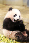 December 18, 2017, Tokyo, Japan - Female giant panda cub Xiang Xiang eats bamboo tree at a press preview at the Ueno Zoological Gardens in Tokyo on Monday, December 18, 2017. The zoo will put Xiang Xiang, born in June from her mother Shin Shin, on display for public from December 19.    (Photo by Yoshio Tsunoda/AFLO) LWX -ytd-