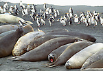 Southern elephant seals and royal penguins, Macquarie Island, Australia