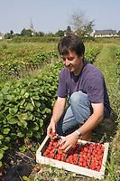 "Europe/France/Bretagne/35/Ille et Vilaine/Saint-Méloir-des-Ondes: Mr Pichot récolte ses fraises Maras des Bois "" Les Petits fruits rouges de la baie Mr Pichot  à Clossets [Non destiné à un usage publicitaire - Not intended for an advertising use]"