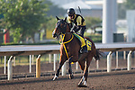 SHA TIN,HONG KONG-DECEMBER 09: Big Arthur,trained by Kenichi Fujioka,exercises in preparation for the Hong Kong Sprint at Sha Tin Racecourse on December 9,2016 in Sha Tin,New Territories,Hong Kong (Photo by Kaz Ishida/Eclipse Sportswire/Getty Images)