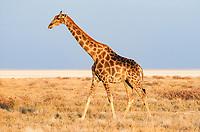 Giraffe (Giraffa camelopardalis), adult walking near saltpan, Etosha National Park, Namibia, Africa