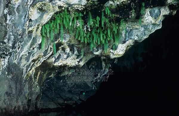 Grotto with ferns, Kauai, Hawaii, USA, August 1996