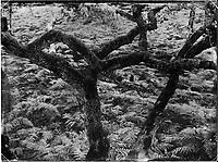 Oak trees and ferns are seen along Denecourt Trail number 6 (sentier Denecourt n°6, Les Gorges d'Apremont) in the Fontainebleau forest of France.
