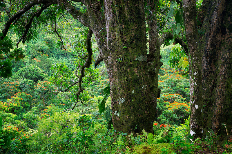 African Tulip Trees as seen through trees on road to Hana. Maui, Hawaii