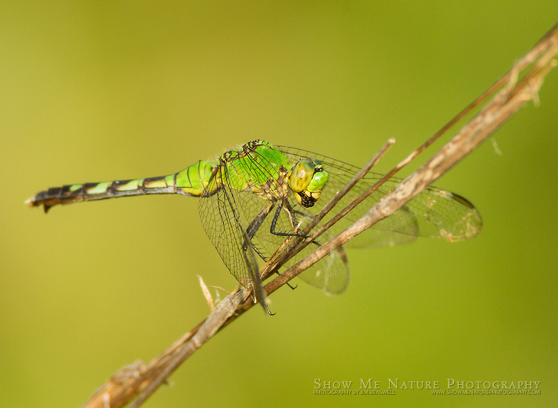 Green Clearwing Dragonfly with good background