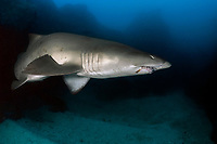 Grey Nurse Shark, Carcharias taurus, or Sand Tiger Shark, sand tiger shark, or Ragged-Tooth Shark, cFish Rock, South West Rocks, New South Wales, Australia, South Pacific Ocean