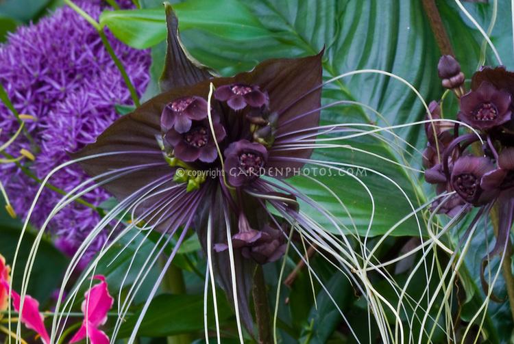 Black Flower Bat's Whiskers Tacca chantrieri in bloom Halloween