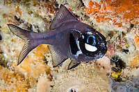 Eyelight Fish
