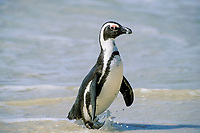 South African or jackass penguin, Spheniscus demersus, exiting water, Gansbaai, South Africa, Southern Africa