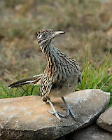 "Greater Roadrunner late afternoon at pond edge, in an ""animated"" pose."