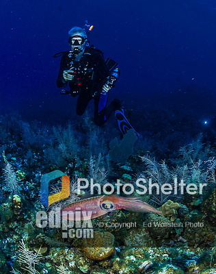 27 July 2015: A Reef Squid (Sepioteuthis sepioidea) is observed by a SCUBA Diver at School House Reef, on the North side of Grand Cayman Island. Located in the British West Indies in the Caribbean, the Cayman Islands are renowned for excellent scuba diving, snorkeling, beaches and banking.  Mandatory Credit: Ed Wolfstein Photo *** RAW (NEF) Image File Available ***