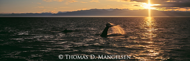 Water drips from the fluke of a humpback whale as it dives at sunset in Southeast Alaska.