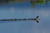 Barrow's Goldeneye (Bucephala islandica) hen with young ducklings.  Western U.S., Spring.