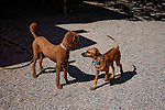 Elinore the Rhodesian Ridgeback puppy meets one of the Rancho Jacona poodle twins.