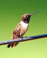 Adult male black-chinned hummingbird