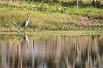 Damon, Texas; a great blue heron fishing along the banks of the slough in late afternoon sunlight