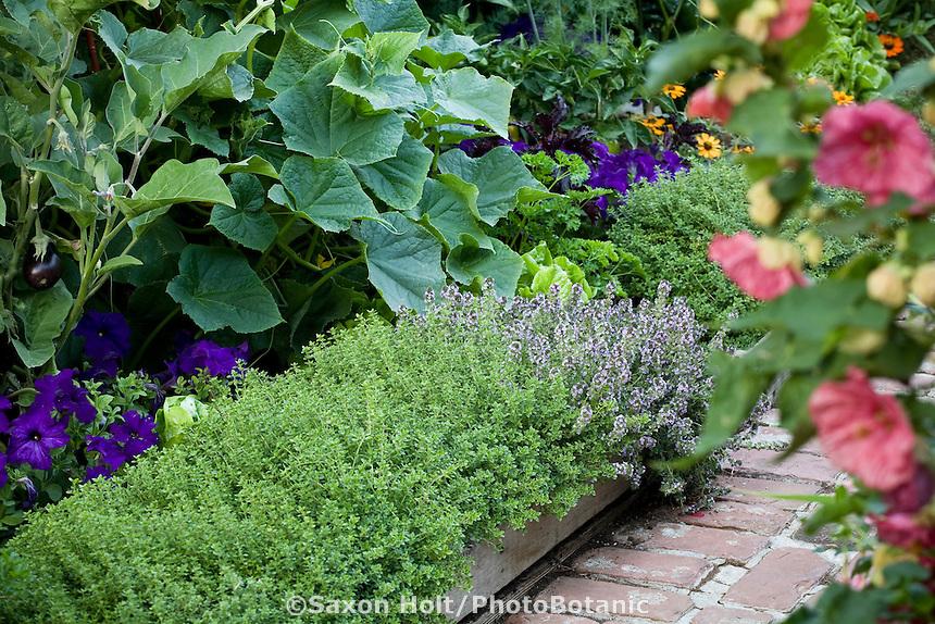 Lemon thyme (Thymus citriodorus) and flowering English thyme (T. vulgaris) bordering path in organic edible landscape garden with eggplants