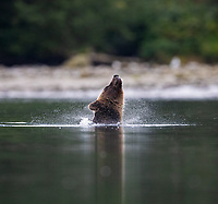 The sow grizzly waded into the inlet in hopes of finding dead salmon along the riverbed.