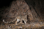 Snow Leopard (Panthera uncia) sub-adult approaching scent-marking cliff, Sarychat-Ertash Strict Nature Reserve, Tien Shan Mountains, eastern Kyrgyzstan
