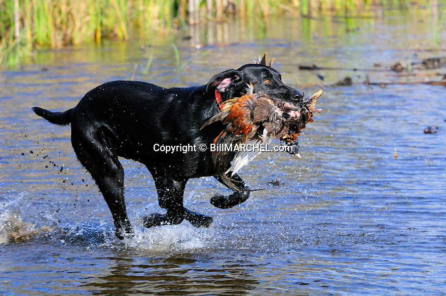 00975-015.15 Labrador Retriever is fetching ring-necked pheasant from watery cover.