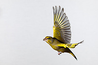 Grünfink, Grünling, Männchen, Flug, Flugbild, fliegend, mit Vogelfutter im Schnabel, Grün-Fink, Chloris chloris, Carduelis chloris, greenfinch, male, flight, Verdier d'Europe