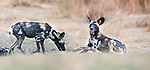 Adult Painted Hunting Dogs or African Wild Dogs (Lycaon pictus) resting on the banks of the Luangwa River. South Luangwa National Park, Zambia.