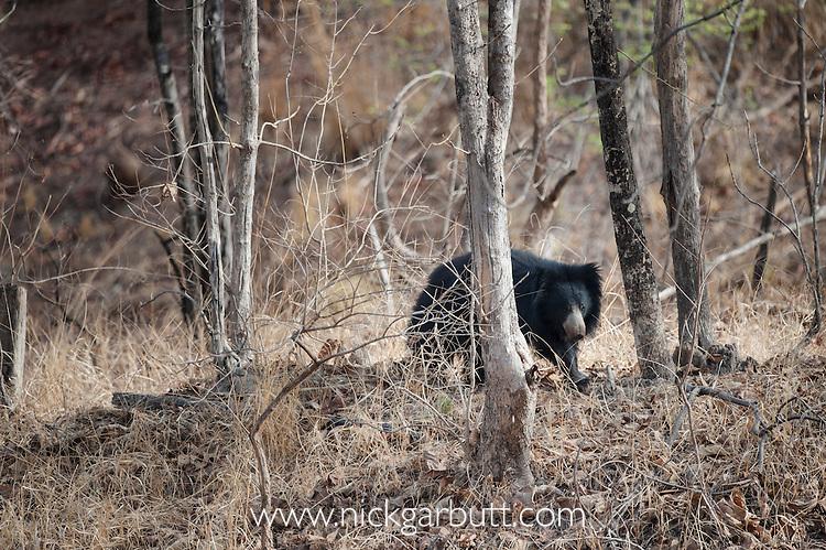 Sloth Bear (Melursus ursinus). Satpura National Park, India.