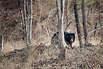 Sloth Bear (Melursus ursinus). Satpura National Park, India.