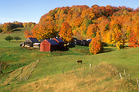 Jenne farm, red barn, maple trees, fall, Reading, VT, Vermont, Scenic view of Jenne Farm surrounded by colorful maple trees in Reading in autumn.
