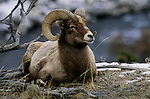 Rocky Mountain Bighorn Sheep, Yellowstone National Park, Wyoming