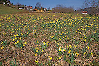 Gelbe Narzisse, Osterglocke, Osterglöckchen, Falscher Narzissus, Trompeten-Narzisse, Narzissen, Blumenwiese, Narcissus pseudonarcissus, wild daffodil, Tenby daffodil, Lent lily