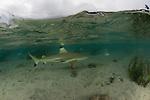 Blacktip reef shark (Carcharhinus melanopterus) patrolling in the shallows.